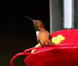 Rufous Hummingbird - July 2009