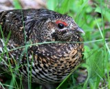 Spruce Grouse - June 2009