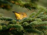 Fall 2009 Warbler Quiz #1b