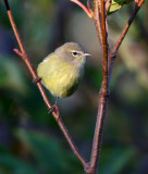 Orange-crowned Warbler 2539