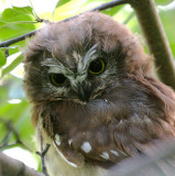 Northern Saw-whet Owl 2643