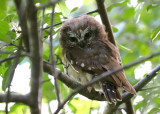 Northern Saw-whet Owl 2650