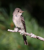Eastern Wood-Pewee 2543