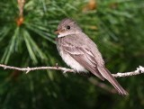 Eastern Wood-Pewee 2555