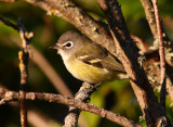 Blue-headed Vireo 2901