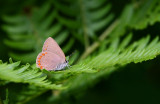 Coral Hairstreak 7085
