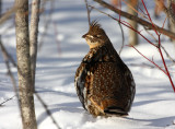 Ruffed Grouse 4828