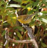 Pine Warbler 0743