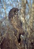 Great Gray Owl 8
