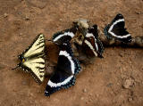 Swallowtail and Admirals