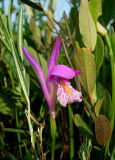 Orchid 3 (Arethusa bulbosa)