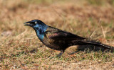 Common Grackle 0737