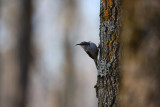 Brown Creeper 0805