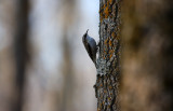 Brown Creeper 0806