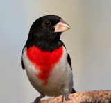 Rose-breasted Grosbeak 0948