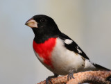 Rose-breasted Grosbeak 0952