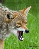 Coyote Close Encounter