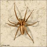 fotoopa 23527 Pisaura mirabilis - Kraamwebspin.