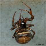fotoopa d50663 Steatoda bipunctata - Koffieboonspin