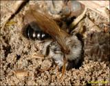 fotoopa 23945 Andrena vaga