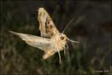 fotoopa D319815 Agaatvlinder - Phlogophora meticulosa