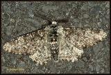 Biston betularia - Peper-en-zoutvlinder