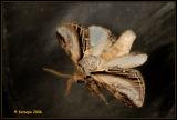 Pheosia tremula - brandvlerkvlinder