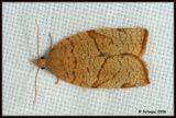 Pandemis cerasana (Tortricidae)
