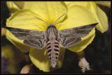 Sphingidae pijlstaarten