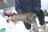 Barred Owl on Fishing Line 02.jpg