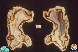 fossils__invertebrate
