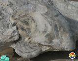 Aturia Alabamensis - HiCal Quarry.jpg