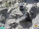 Carcharodon megalodon tooth.jpg