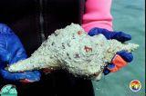 Florida Bay Pleuroploca2.jpg