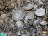 Mollusk shells Rucks Pit.JPG