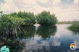 Mangroves in Western Evergladeslades.jpg