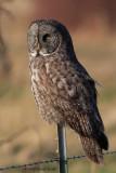 Great Gray Owl Adventure