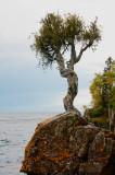 Sacred little cedar tree