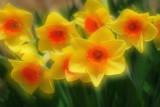 Daffodil Heaven