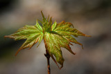 Young maple leaf