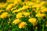 Dandelions everywhere...