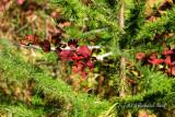 Tamarack and Red Berries