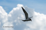 TERN, FORESTER'S