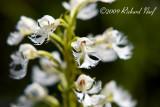 Eastern Prairie Fringed Orchid: Platanthera leucophaea