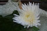141 chrysanth.jpg