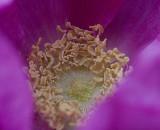 fuschia rose