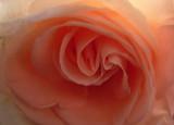 rose twist