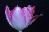 November Tulips.....