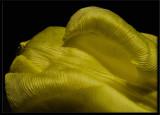 tulip in yellow