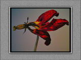 red tulip in siver sand